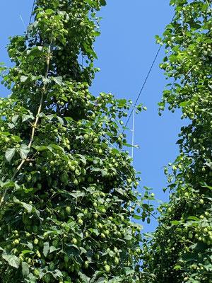 Frühestens Ende August ist der Hopfen erntereif - nur die WEIBLICHEN Dolden sind für die Bierherstellung zu gebrauchen ......!