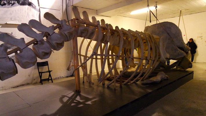 Auf der Museumsführung: eindrücklich, das Skelett eines Pottwals