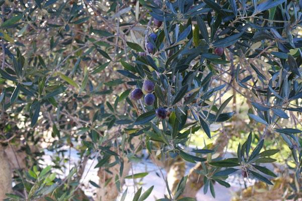 Diese Oliven könnte ich aus dem Schlafzimmerfenster ernten