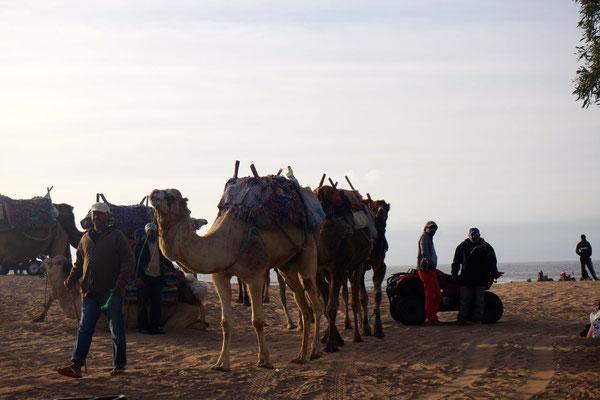 Kamele im Abendlicht am Strand