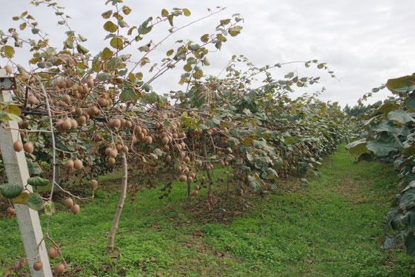 Mitten im Dorf Outeiro do Louriçal treffen wir auf diese Kiwiplantage
