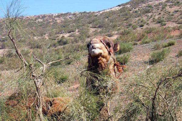 Derweil wartet das Kamel auf seinen Fotoauftritt - auf der Strecke nach Essaouira