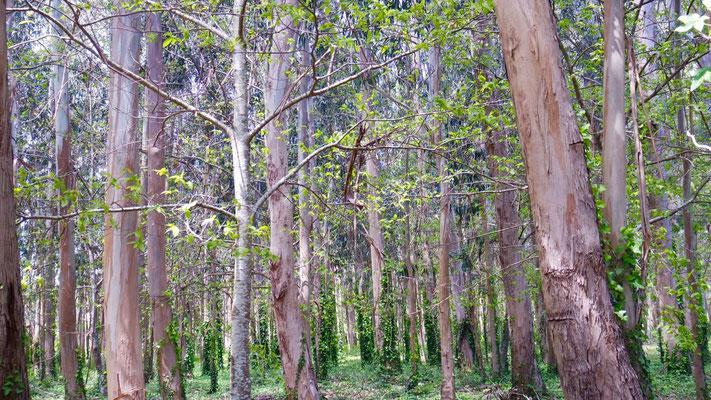 Frühlingshafter Eukalyptus-Wald - schade nur,  dass der frische Duft nicht online lieferbar ist!