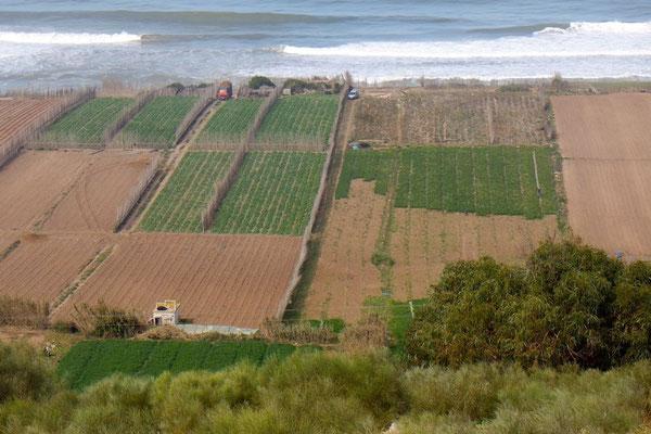 Endlose Gemüsekulturen direkt am Meer, als Bewässerung reicht der Morgentau
