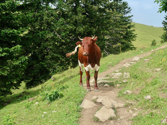 Begegnung mit einer freundlichen Krava ;-)