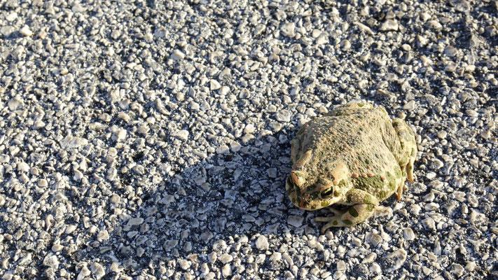 Unerschrockener Froschnachbar auf dem Stellplatz