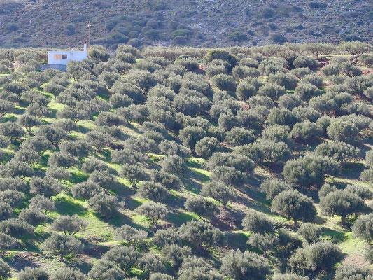 Nirgends sonst haben wir derart sorgfältig gehegte Olivenhaine bestaunt - die Kreter pflegen ihr Gold!