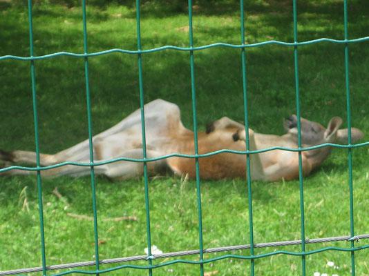 Ich bin sowas von faul - meint das Känguru im zoologischen Garten der Festungsanlage