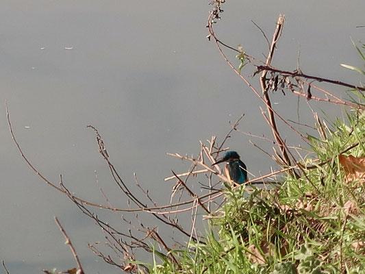 Unser Freund Eisvogel auf Fischbeute-Lauer