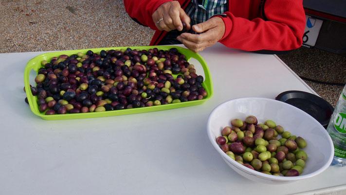 5 kg marktfrische Oliven werden sorgfältig sortiert, um sie danach dem Wasserbad zu übergeben