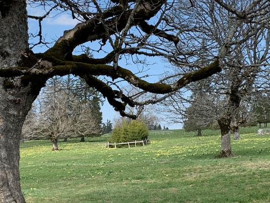 oder eines der unendlichen gelben Felder, die die Jura-Wiesen schmücken - analog Braunwald mit seinen Krokusfeldern