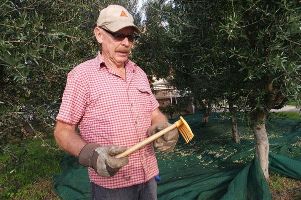 Mit dem Rächeli werden die Oliven sanft vom Ast befreit