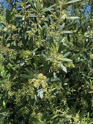 Blühende Olivenbäume - ein bisher nicht bekanntes Bild für uns!