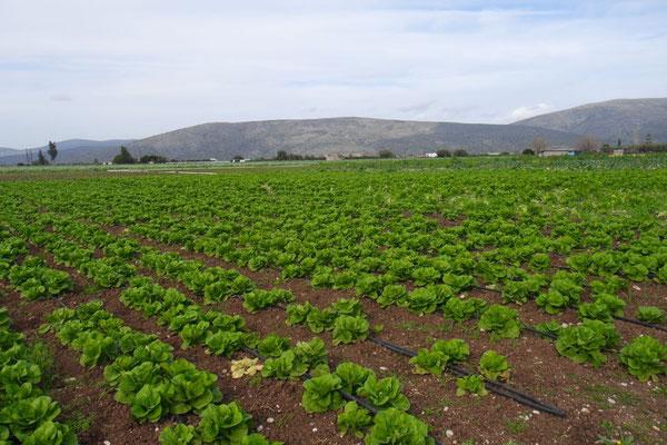 Die fruchtbare Gemüselandschaft bei Iria oder die griechische Magadino-Ebene