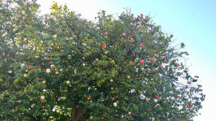 Hier wachsen die Rosenbäume in den Himmel!
