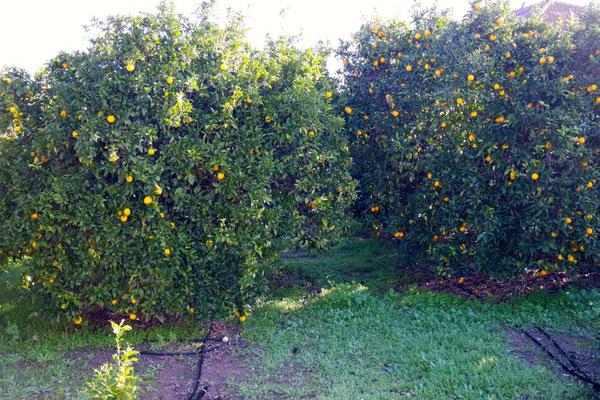 Meine Küchenaussicht in Nachbars Orangenplantage