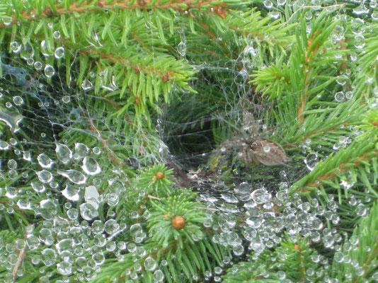 Die Spinne in ihrem Bau im Regentau!