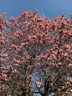 Magnolien verkünden den Frühling