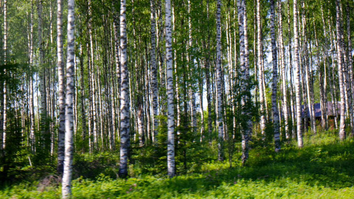Endlose Birkenwälder gehören zu Finnland