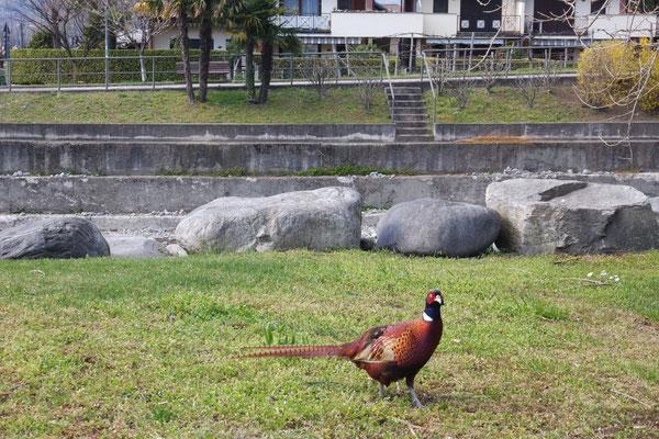 Ein freilaufender Fasan stolziert über die Wiese oder er verblüfft mit seinem Besuch uns Wohnmobilisten auf dem Stellplatz!