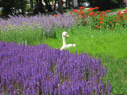 Schwan im Blumenmeer!
