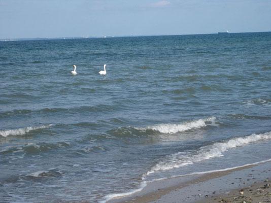 Meerschwäne in der Ostsee