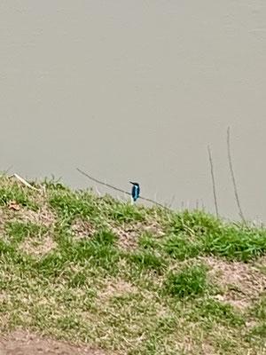 Freund Eisvogel posiert wieder - unverkennbar auch ohne Profizoom