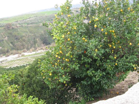 Der unwiderstehliche Zitronenbaum auf dem Weg nach Badolato