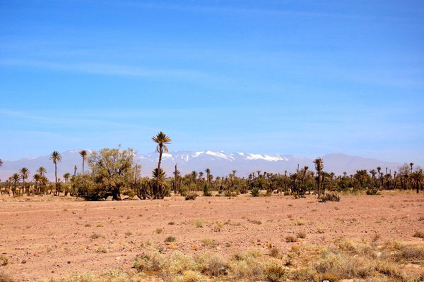 Palmen vor dem Schnee bedeckten Hohen Atlas