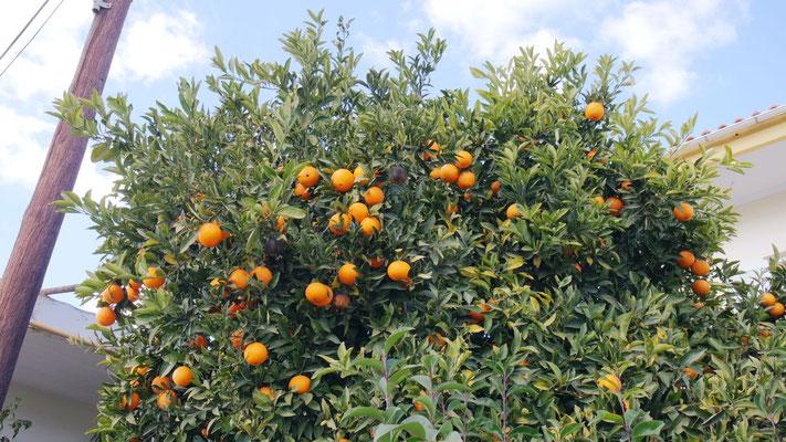 Orangenbäume, das geht gar nicht