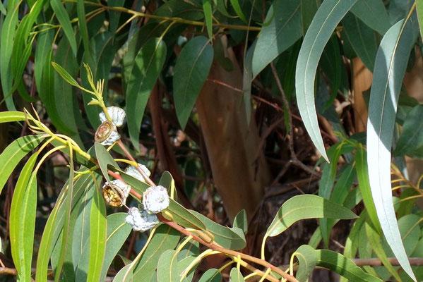 Wohlduftender Eukalyptus