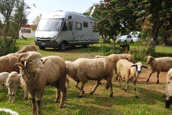 Allmorgendlicher Besuch auf dem Camping in Moulay Bousselham