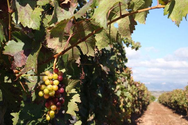 Da hängt er noch, der zukünftige edle Rioja-Tropfen