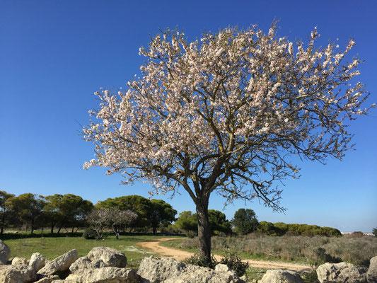 Die Mandelbäume erstrahlen bereits in voller Blüte