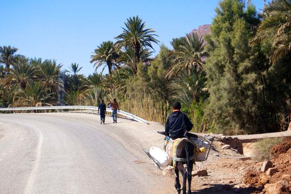 Im fruchtbaren Draa-Tal - der Eseltransport gehört zu Marokko