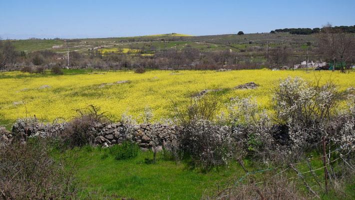 Gelbe Blumenpracht auf dem Weg nach  Aranda de Douero