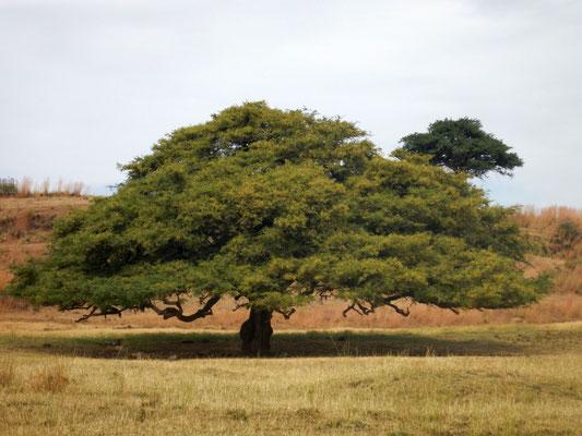 Le Baobab, arbre à palabres.  Trek à  Lalibela en Ethiopie. Voyage Séjour Trekking et randonnée, Road Trip en Ethiopie.  Région Amhara