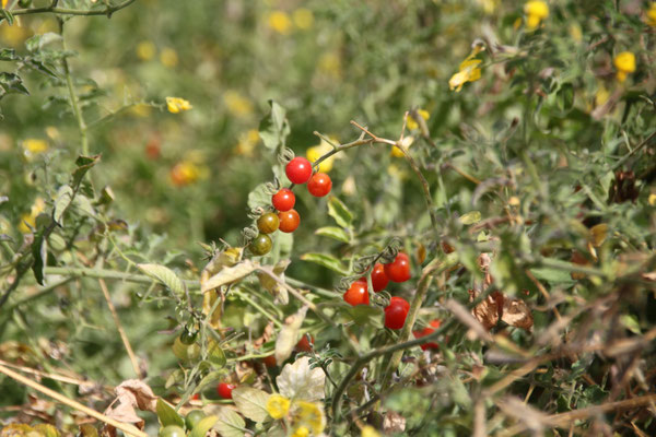 Wilde Tomaten