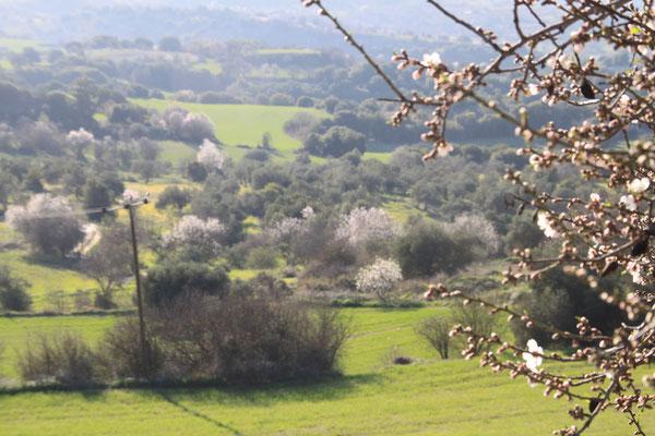 Mandelblüte Im Tal