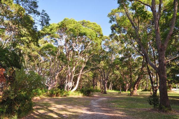 Zahlreiche Eukalyptusbäume doch leider kein Koala in Sicht :(
