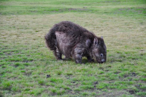 Krankes Wombat :(