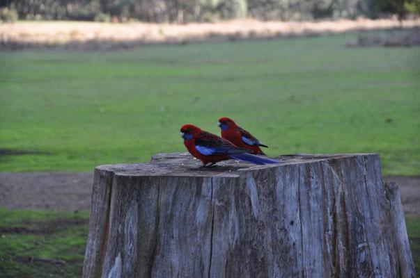 ...präsentierten sich uns auf der anderen Seite ein paar farbenprächtige Crimson Rosellas (Penanntsittiche).