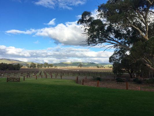 Barossa Valley: Mit einer Rebfläche von ca. 10.000 ha ist es das bekannteste Weinbaugebiet Australiens.