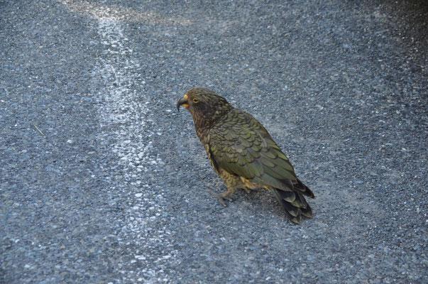 Kea-Papagei