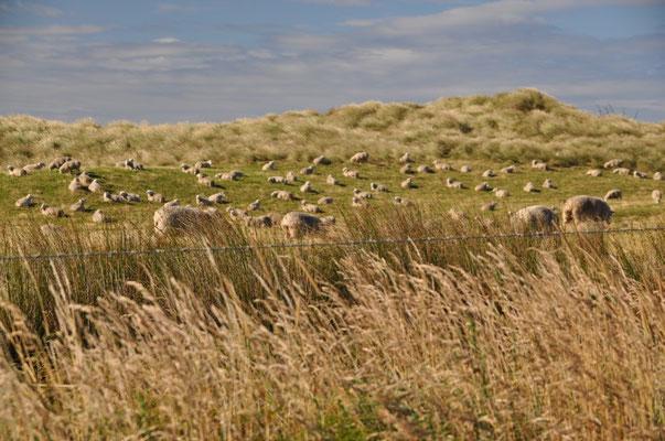 Vorbei an einer der vielen Schafweiden