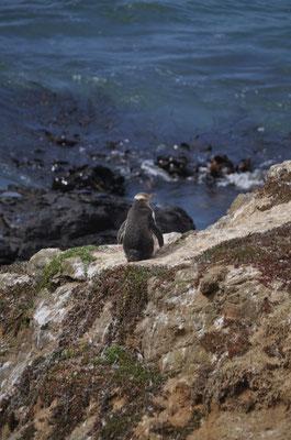 Auch ein paar wenige Gelbaugen-Pinguine liessen sich blicken...