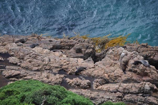 Tummelnde Seelöwen (oder Fellrobben?)
