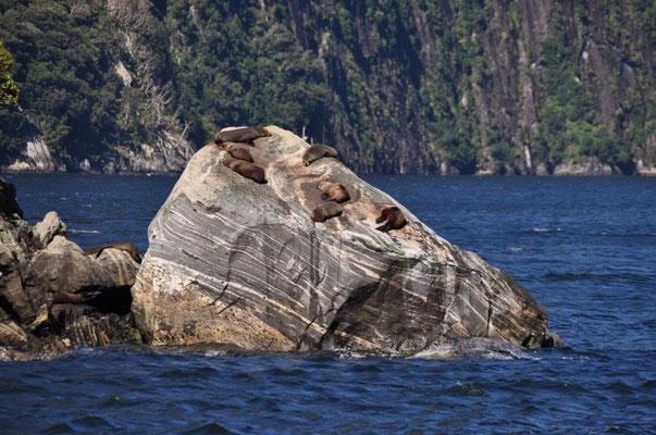 Seelöwen am Faulenzen