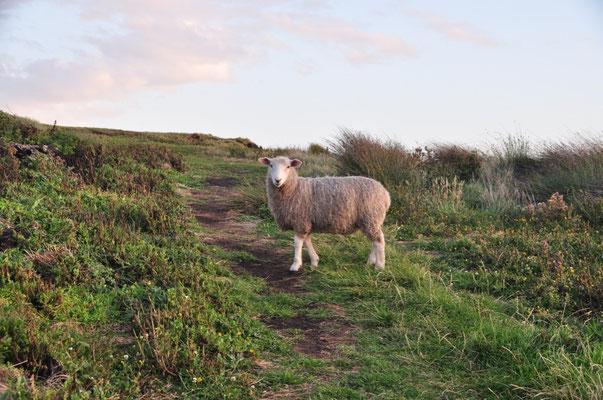 Das Schaf - perfekt in Pose gestellt