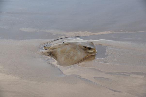 Angeschwemmter (toter) Rochen